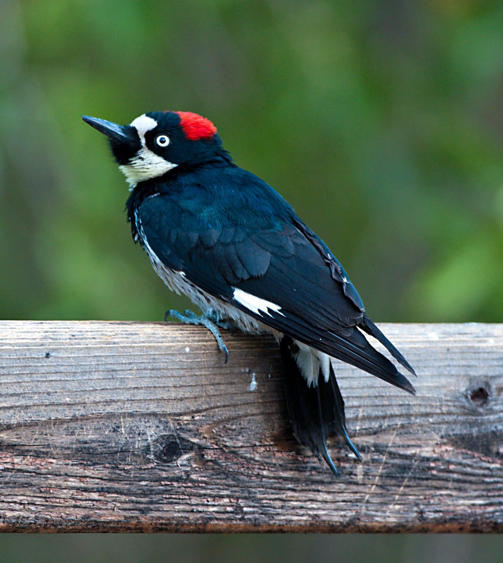 Woodpecker Sylvia Boorstein