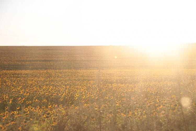 Sunflower-Field-Crop-Sunlight__39201-1024x682