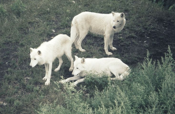 Three white wolves.