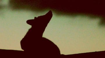 Silhouette of a fox.