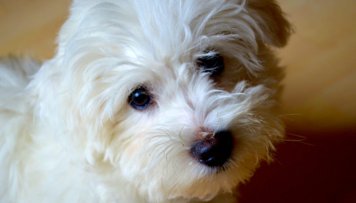 Coton du Tulear puppy.