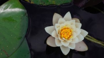 What Is The Meaning Of The Lotus In Buddhism Lions Roar