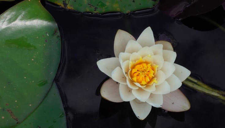 Science and the sacred lotus lions roar andrea miller looks into the scientific phenomena of the lotus effect and how it relates to the buddhist symbol mightylinksfo