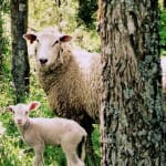 Welcoming the year of the Wood Sheep