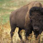 Finding Your Buffalo