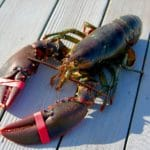 When Buddhists re-release lobsters and other animals, is that safe?