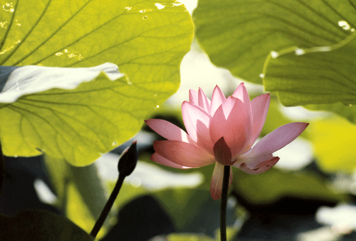 Pink lotus flower with green leaves.