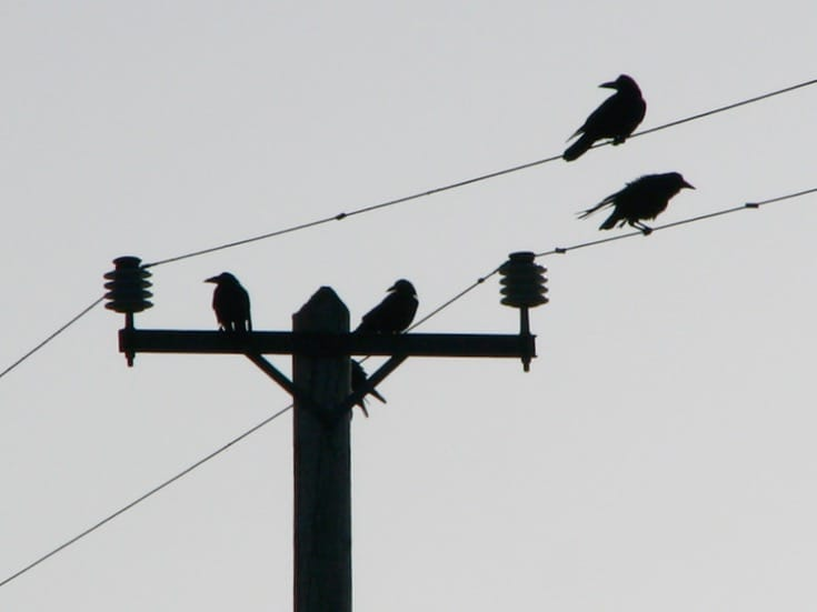 Crows on wires.