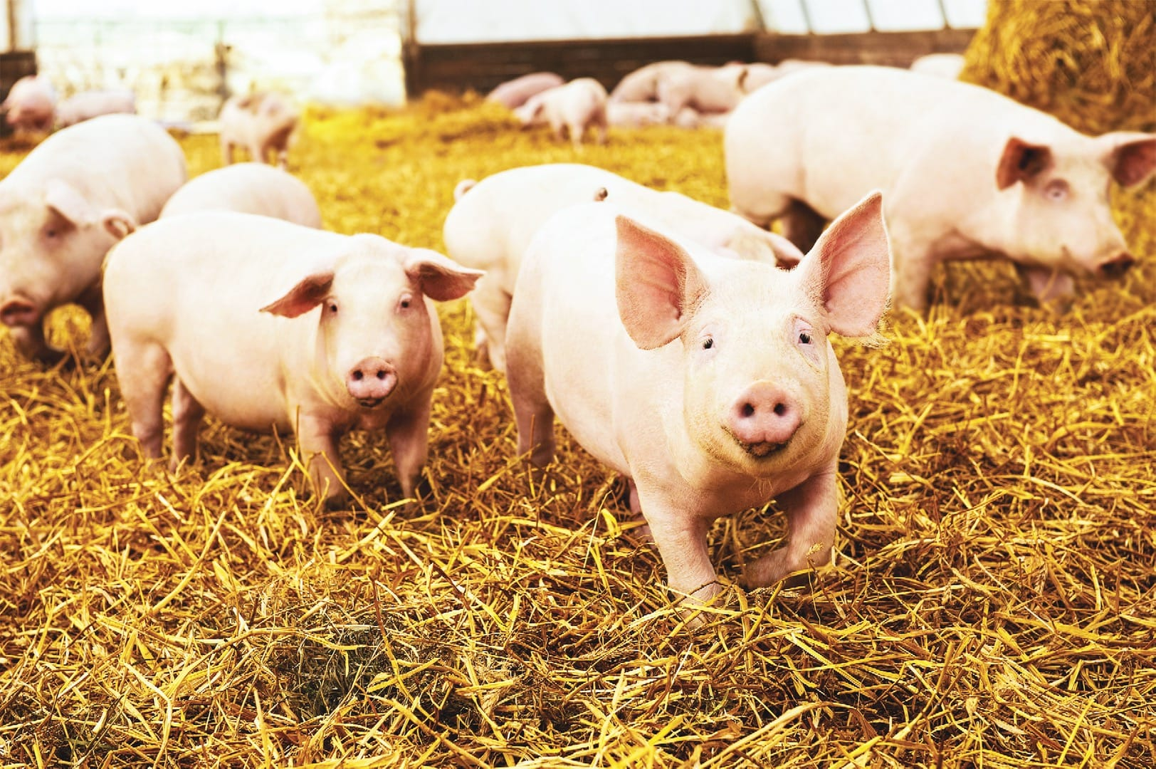 herd of young piglet on hay and straw at pig breeding farm