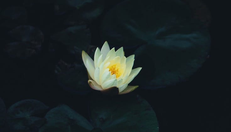 lotus-big-1