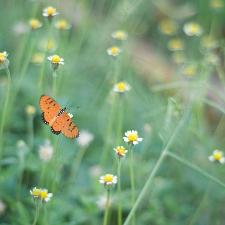 "In meditation, ""rest your attention lightly—as lightly as a butterfly rests on a flower,"" says Sharon Salzberg. Photo by Prachanart Viriyaraks."