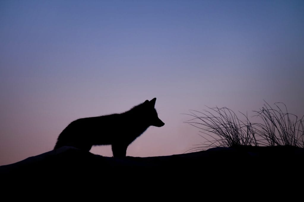 A fox at sunset.