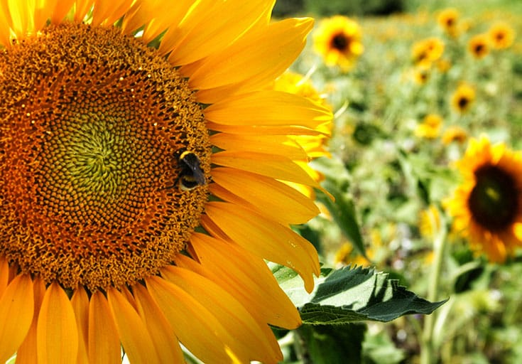See the Universe in a Sunflower - Lion's Roar