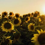 See the Universe in a Sunflower