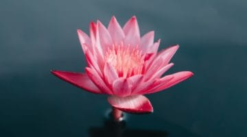 What is the Meaning of the Lotus in Buddhism?