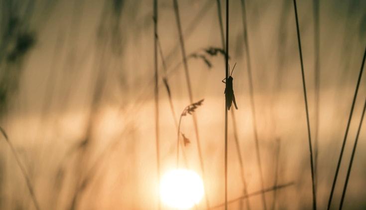 Grasshopper on a stalk of grass at sunet.