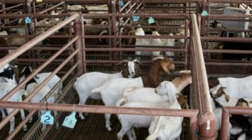 Goats at auction.