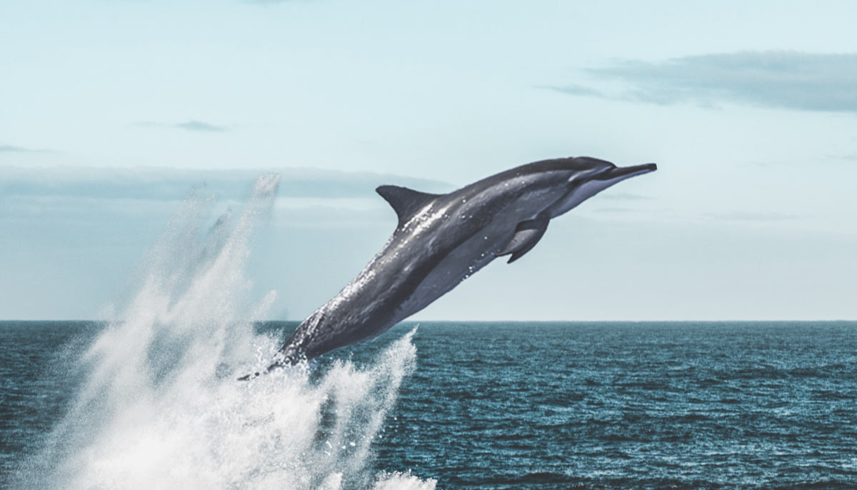 A dolphin jumping out of the ocean.