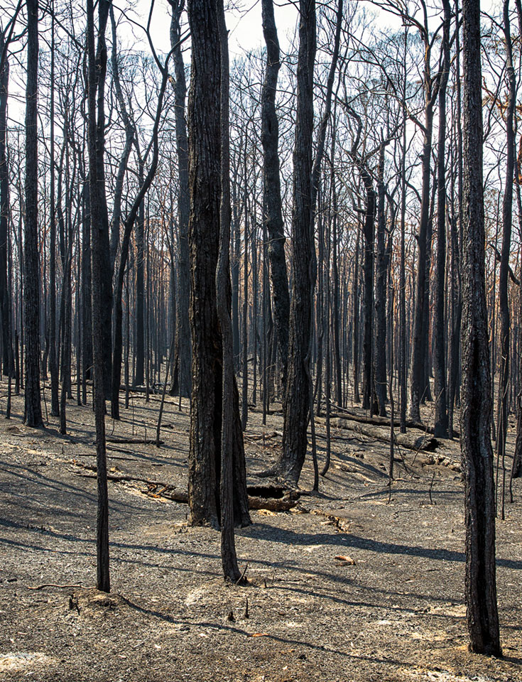 A bunch of burnt trees with no leaves.