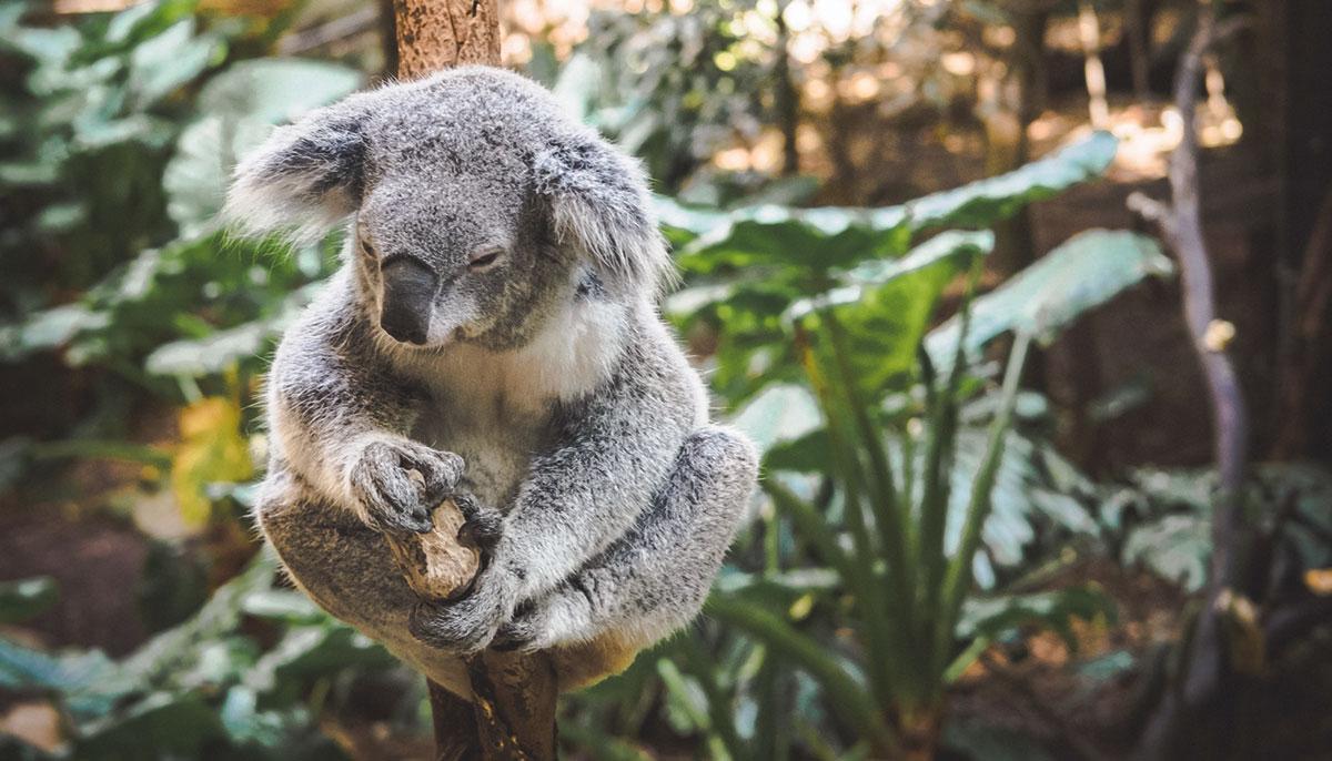 A koala attached to a tree.