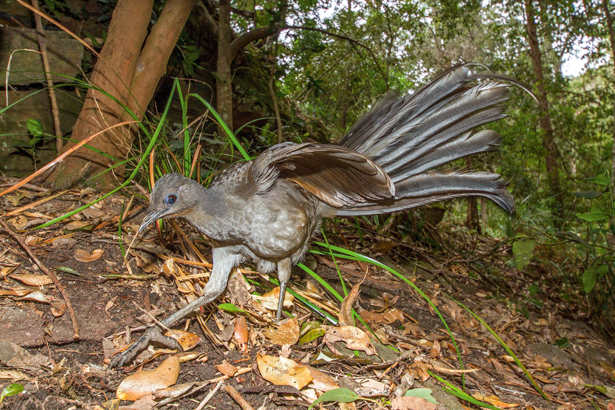 A picture of a lyre bird with its feathers spread out.