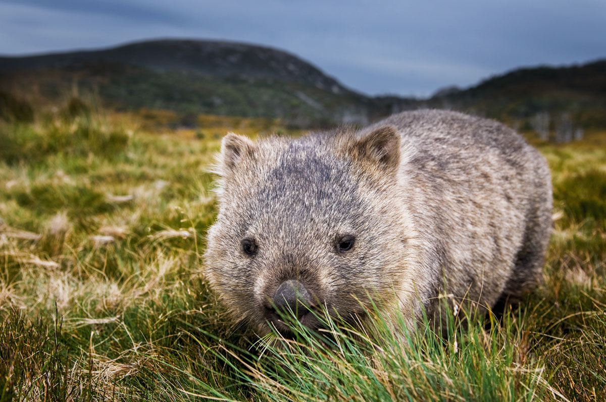 A picture of a wombat in grass near mountains.